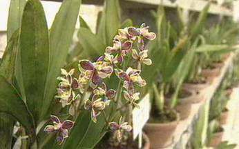 ABC do Globo Rural: Orquídea - Saiba qual é a importância de manter a orquídea dentro do orquidário.
