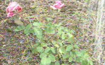 ABC do Globo Rural: Rosa - Saiba como fazer um enxerto de rosas.