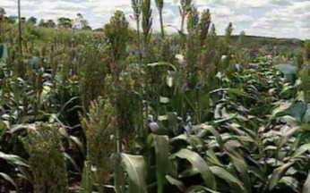 ABC do Globo Rural: Sorgo - O sorgo é um cereal bastante utilizado como ração para o gado.