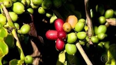Chuva ajuda no desenvolvimento dos cafezais do Espírito Santo - Apesar da boa notícia, produção deverá ser parecida com a de 2019, reflexo dos efeitos da seca nas lavouras durante o ano passado.