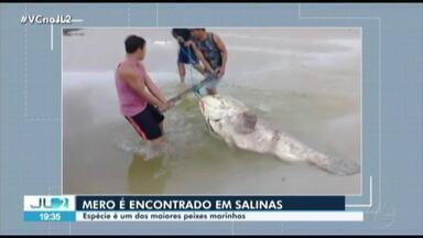 Peixe Mero é encontrado em praia de Salinópolis - Peixe Mero é encontrado em praia de Salinópolis