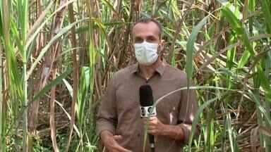 Piauí se torna o terceiro maior produtor de cana de açúcar do Nordeste - Piauí se torna o terceiro maior produtor de cana de açúcar do Nordeste