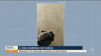 Mais de 140 tartarugas marinhas nasceram no litoral norte de Ilhéus - Confira as imagens.