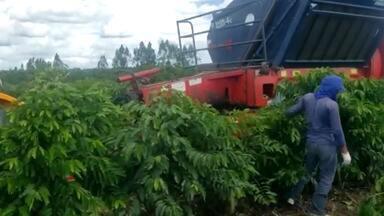 Produtores de café adotam medidas preventivas contra o coronavírus durante a colheita - Trabalhadores de Itabela estão tendo a temperatura medida e estão sendo evitadas aglomerações de pessoas nas fazendas da região.