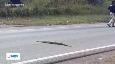 PRF para trânsito na BR-060 para uma cobra atravessar a rodovia, em Goiás - Trânsito ficou parado por 5 minutos.
