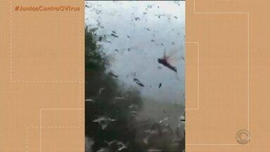 Nuvem de gafanhotos está sobre a Argentina - Especialista diz que causa é provocada por desequilíbrio ambiental.