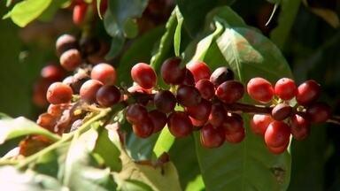 Safra de café deve ser boa no centro-oeste paulista - Cassiano Tosta produz café do tipo especial em uma fazenda em Garça (SP). Ele espera colher este ano 500 sacas de 60 quilos. A maior parte da produção, cerca de 80%, vai para o mercado internacional.