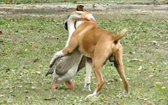 É Curioso: animais mostram atitudes inusitadas - No zoológico de Salvador, um macaco pegou um saco de pipocas que estava fora da gaiola, mas o jogou fora ao vê-lo vazio. Em Florianópolis, um cão e um ganso se unem para proteger um sítio.