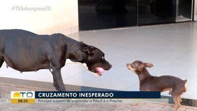 Cruzamento inesperado: pinscher é 'suspeito' de engravidar pitbull - Cruzamento inesperado: pinscher é 'suspeito' de engravidar pitbull