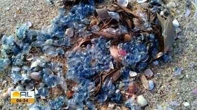 Caravelas são monitoradas na praia de Lagoa do Pau, Litoral Sul de Alagoas - Abdias martins tem mais informações.