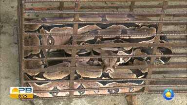 Cobras são resgatadas pela Polícia Ambiental, em JP - Nove cobras foram resgatadas nesse fim de semana