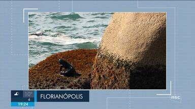 Lobo-marinho é visto em Florianópolis; veja giro de notícias - Lobo-marinho é visto em Florianópolis; veja giro de notícias