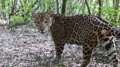 Com fechamento para visitas, animais exploram novas áreas do Parque Nacional do Iguaçu - Pesquisadores já flagraram seis novas onças-pintadas no lado brasileiro do parque. Mais do que no ano passado inteiro.