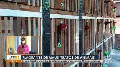 Rinhas de galo são desarticuladas pela Polícia Civil no bairro Maicá, em Santarém - Uma pessoa foi presa por maus tratos a animais.