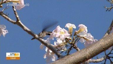 Temporada de flores no cerrado chega ao Tocantins - Temporada de flores no cerrado chega ao Tocantins