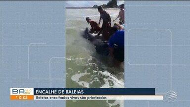 Cerca de 30 baleias ficaram encalhadas no litoral baiano; confira - Situação é predominante na região do extremo sul do estado.