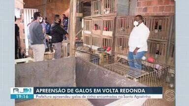 Galos de rinha são apreendidos no bairro Santo Agostinho, em Volta Redonda - Animais sofriam maus tratos e foram entregues para veterinários da prefeitura.