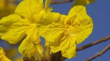 Ipês amarelos chamam atenção de moradores em Sorocaba - Em Sorocaba (SP), os ipês amarelos começaram a florir em vários parques, ruas e avenidas da cidade.