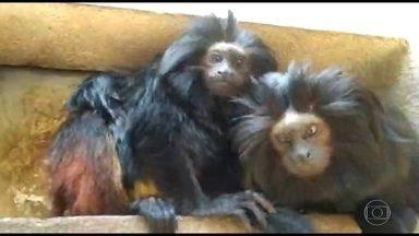 Dois filhotes de micos-leões-pretos nascem no zoológico de São Paulo - Espécia nativa da Mata Atlântica do estado de São Paulo corre o risco de extinção