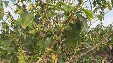 Estiagem pode afetar próxima safra de café - A região de Marília (SP) é um dos poucos lugares onde o café ainda é cultivado em São Paulo. A planta é do tipo arábica, que gera grãos de aroma marcante e sabor adocicado.