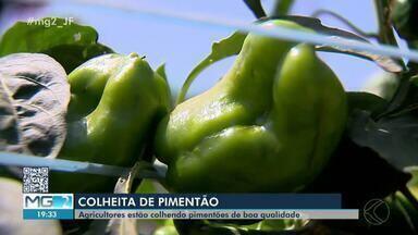 Agricultores comemoram produção de pimentão em Tocantins, na Zona da Mata - Clima favoreceu a safra em 2020. Minas Gerais é o maior produtor do alimento no país.