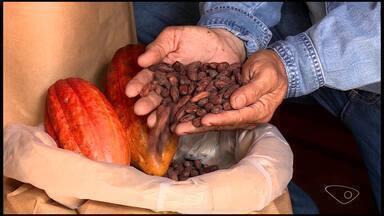Produtores de cacau do ES investem na fabricação de chocolate artesanal - Assista.