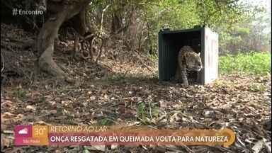Animais recuperados dos incêndios retornam ao habitat no pantanal - Ativista Ambiental Juliana Camargo fala da emoção ao ver a onça ousado voltando para a natureza depois de mais de um mês de tratamento