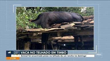 Vaca é resgatada após ficar presa em telhado em SC - Vaca é resgatada após ficar presa em telhado em SC