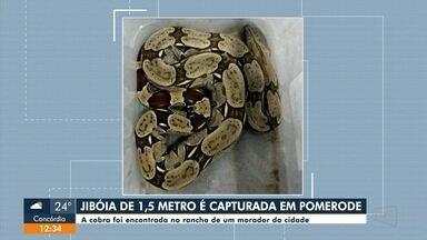 Jibóia de 1,5 metros é encontrada por morador, nos fundos de casa, em Pomerode - Jibóia de 1,5 metros é encontrada por morador, nos fundos de casa, em Pomerode