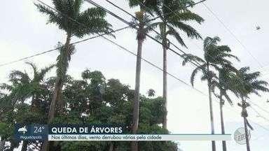 Chuvas nos últimos dias causam quedas de árvores em Ribeirão Preto, SP - Secretaria do Meio Ambiente diz faz o reflorestamento a partir do diagnóstico realizado pela equipe técnica.
