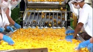 Colheita de pêssego começa no RS com expectativa de crescimento - Devem sair dos pomares do estado 130 mil toneladas da fruta neste ano, contra 110 mil toneladas no ano passado. Rio Grande do Sul é responsável por 73% da área de cultivo do alimento em todo o país.