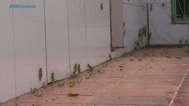 Gafanhotos causam estragos na vegetação e preocupam produtores da Região Noroeste do RS - Assista aos vídeos.
