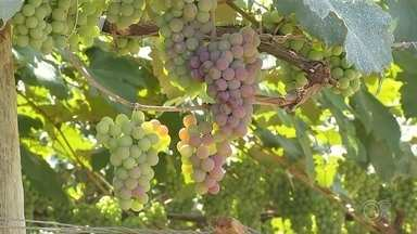 """Jundiaí deve produzir quase 23 mil toneladas de uva neste ano - A cidade de Jundiaí (SP), conhecida como """"terra da uva"""", deve produzir quase 23 mil toneladas da fruta apenas neste ano."""