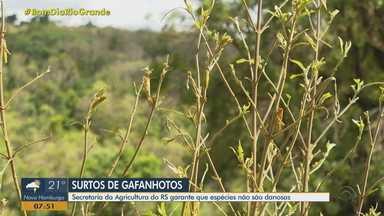 Secretaria da Agricultura do RS garante que espécies de gafanhotos não são danosas - Assista ao vídeo.