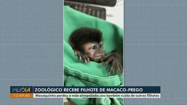 Zoológico de Cascavel recebe filhote de macaco-prego - O macaquinho perdeu a mãe atropelada.