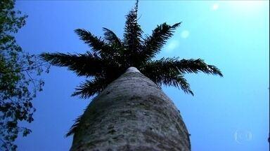 Aprenda como fazer o plantio da palmeira imperial - Dúvida foi enviada por telespectador de São Paulo.