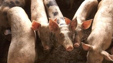 Suinocultores de Roraima estão otimistas com setor - Com abate legalizado, expectativa é de melhora nas vendas e redução da compra da carne de suínos de outros estados