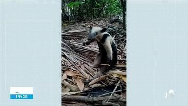 Tamanduá Mirim é resgatado e devolvido à natureza em Sobral - Saiba mais em g1.com.br/ce