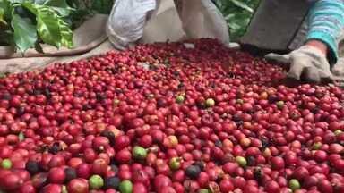 Produtor do extremo sul da Bahia recebe o título de melhor café conillon do Brasil - Ele participou de um concurso com mais de 400 amostras de café deste tipo, vindas de várias partes do país.