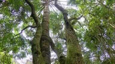 """Árvores-mães alimentam seus """"filhos"""" e a população vizinha - """"Vimos que a árvore-mãe não só atende aos seus, mas alimenta também os filhos de suas vizinhas. Em quantidade menor do que para a própria família, mas não deixa de cuidar dos estranhos também"""", explica a pesquisadora canadense Suzanne."""