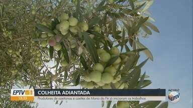 Produtores de azeitonas e azeites de Maria da Fé iniciam colheita - Produtores de azeitonas e azeites de Maria da Fé iniciam colheita