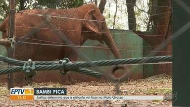 Justiça determina que elefanta Bambi fique no Mato Grosso - Ministério Público de Ribeirão Preto, SP, pediu retorno do animal ao Bosque Fábio Barreto.