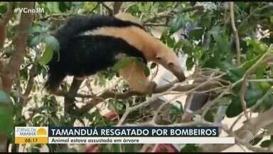 Tamanduá é resgatado por bombeiros militares em São Gonçalo dos Campos, interior do estado - Animal estava sendo perseguido por cães e foi acolhido em uma clínica veterinária.