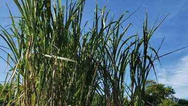 Pesquisadores trabalham no melhoramento genéticos para produção de cana - Estudos buscam sementes mais resistentes que possam suportar climas diversos.