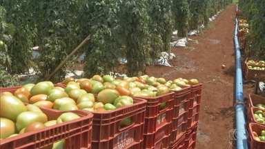 Estiagem prejudica safra e preço do tomate sobe em Goiás - Mesmo com a lavoura bem cuidada, a pandemia afeta a atividade no Estado
