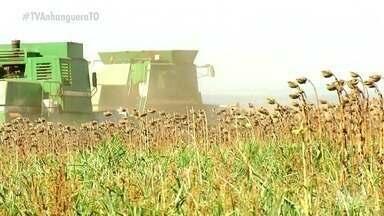 Área plantada de girassol deve ter queda em 2021; entenda - Área plantada de girassol deve ter queda em 2021; entenda