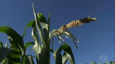 Seca no oeste do Paraná prejudica produção de milho - A última chuva significativa na região foi no fim de março. Expectativa da colheita caiu 16% em volume na comparação com as estimativas iniciais.