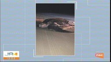 Biólogos fazem abertura de ninho de tartaruga em Balneário Gaivota - Biólogos fazem abertura de ninho de tartaruga em Balneário Gaivota
