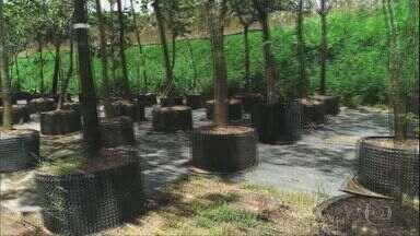 Globo Rural – Edição de 23/05/2021 - O programa vai mostrar como são feitas as árvores adultas que embelezam os projetos de paisagismo, a perda de renda das quebradeiras de coco no Maranhão, a produtividade do café em Minas Gerais, que caiu, mas que foi compensado por preço.