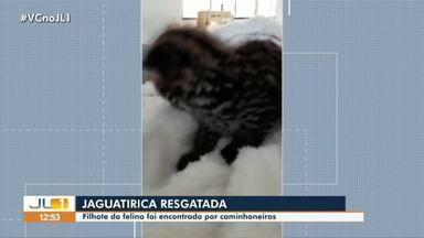 Filhote de jaguatirica é encontrado por caminhoneiros em Trairão - Filhote de jaguatirica é encontrado por caminhoneiros em Trairão.